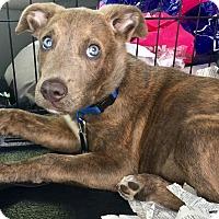 Adopt A Pet :: Blue - Phoenix, AZ