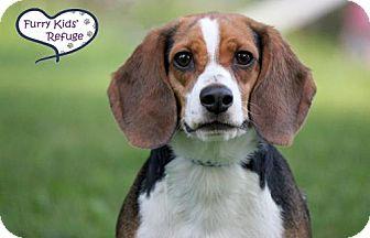 Beagle Mix Dog for adoption in Lee's Summit, Missouri - Bingo