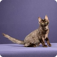Adopt A Pet :: Poe (Kitten) - Cary, NC