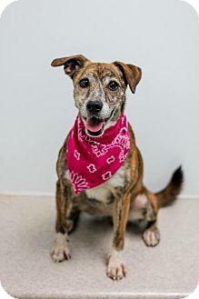 Australian Shepherd/Terrier (Unknown Type, Medium) Mix Dog for adoption in Brownsburg, Indiana - Smoochie