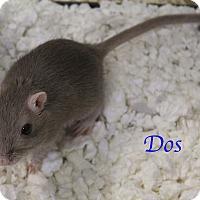 Adopt A Pet :: Dos - Bradenton, FL