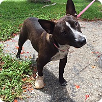 Adopt A Pet :: Chavito - Key Biscayne, FL