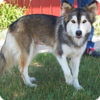 Alaskan Malamute/Collie Mix Dog for adoption in Elkhart, Indiana - Serina