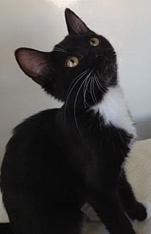Domestic Shorthair Kitten for adoption in Roseville, California - Wanda