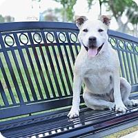 Standard Schnauzer Mix Dog for adoption in Salt Lake City, Utah - Lavendar Brown