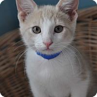 Domestic Shorthair Kitten for adoption in La Canada Flintridge, California - Jax - Available Today!