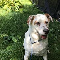 Labrador Retriever Mix Dog for adoption in Monroe, Connecticut - Rocky