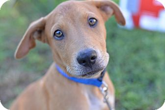Hound (Unknown Type)/Labrador Retriever Mix Puppy for adoption in Glastonbury, Connecticut - Rusty~adopted!