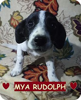 Dachshund/Collie Mix Puppy for adoption in Batesville, Arkansas - Mya Rudolph