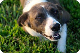 Border Collie/Labrador Retriever Mix Dog for adoption in Glastonbury, Connecticut - Honey