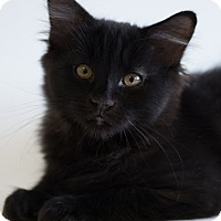 Domestic Shorthair Kitten for adoption in Houston, Texas - SPOOKY