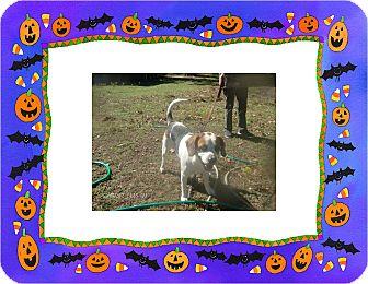 Basset Hound/Beagle Mix Dog for adoption in KELLYVILLE, Oklahoma - DANNY