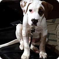 Hound (Unknown Type)/Terrier (Unknown Type, Medium) Mix Puppy for adoption in Detroit, Michigan - Target-Adopted!