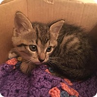 Domestic Shorthair Kitten for adoption in Gainesville, Florida - Catillac