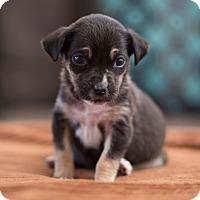 Adopt A Pet :: Runt - San Antonio, TX