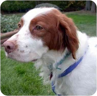 Brittany Dog for adoption in Buffalo, New York - Hero