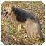 Photo 2 - German Shepherd Dog Dog for adoption in Pike Road, Alabama - Kelly