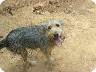 Hector | Adopted Dog | Eden, NC | Airedale Terrier/Irish ...