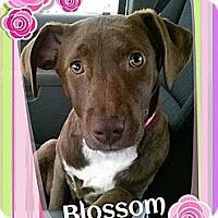 Adopt A Pet :: Blossom - Elderton, PA