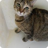 Domestic Shorthair Cat for adoption in Owenboro, Kentucky - GABBIE