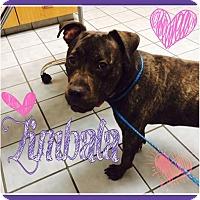 Adopt A Pet :: Zimbala - Las Vegas, NV