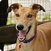 Adopt A Pet :: Atlas - Ware, MA