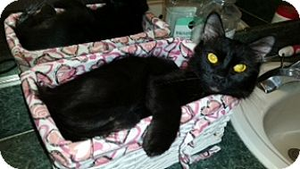 Domestic Mediumhair Cat for adoption in St. Cloud, Florida - Silka