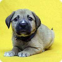 Adopt A Pet :: Henri - Westminster, CO