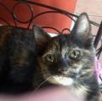 Domestic Shorthair Cat for adoption in Mission Viejo, California - Chui