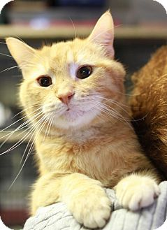 Domestic Shorthair Cat for adoption in Winston-Salem, North Carolina - Kasey