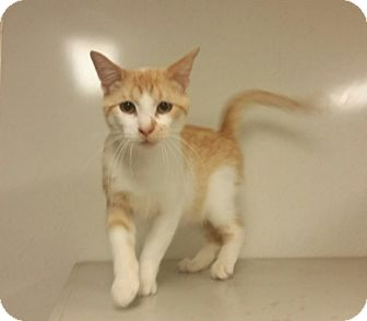 Domestic Shorthair Cat for adoption in Indianola, Iowa - C13