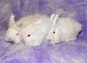 Angora, Satin for adoption in Chesterfield, Missouri - Dixie, Dahlia and Darlin