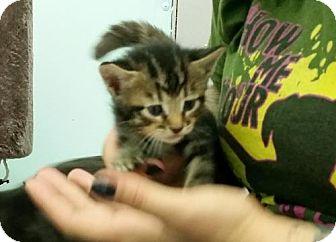 Domestic Shorthair Cat for adoption in Lemoore, California - Mr. Slinky