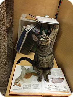 Domestic Shorthair Cat for adoption in Brea, California - TRIXIE