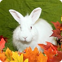 Adopt A Pet :: Bun DMC - Lowell, MA