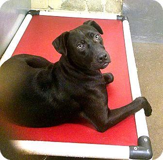 Labrador Retriever Mix Dog for adoption in Jacksonville, Texas - Jesse
