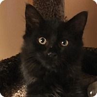 Domestic Longhair Kitten for adoption in Oviedo, Florida - Bijou
