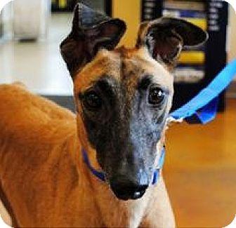 Greyhound Mix Dog for adoption in Aurora, Indiana - Carroll