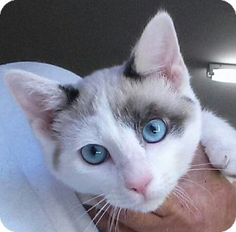 Siamese Kitten for adoption in Knoxville, Tennessee - Emma