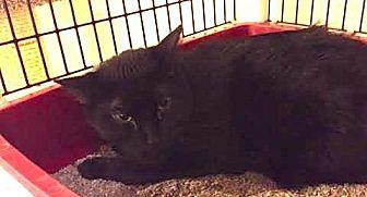 Domestic Shorthair Cat for adoption in Chicago, Illinois - Muddy Mudskipper