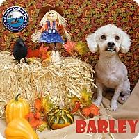 Adopt A Pet :: Barley - Arcadia, FL