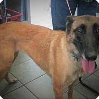 Adopt A Pet :: Macie - Redmond, WA