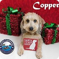Adopt A Pet :: Copper - Arcadia, FL