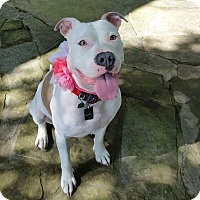 American Pit Bull Terrier/Boxer Mix Dog for adoption in Bryan, Texas - Annabeth