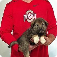 Adopt A Pet :: Trooper - Gahanna, OH