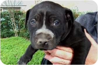 American Bulldog/Terrier (Unknown Type, Medium) Mix Puppy for adoption in Glastonbury, Connecticut - Jingle - Courtesy post