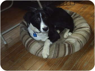 Border Collie/Whippet Mix Dog for adoption in cedar grove, Indiana - Molly