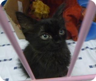Domestic Mediumhair Cat for adoption in Gainesville, Florida - Ava