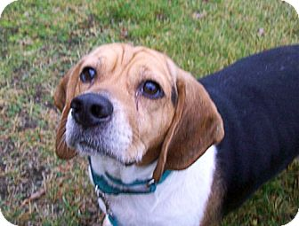 Beagle Dog for adoption in Pittsburgh, Pennsylvania - Sydney