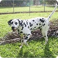 Dalmatian Mix Dog for adoption in Key Biscayne, Florida - Aldrich